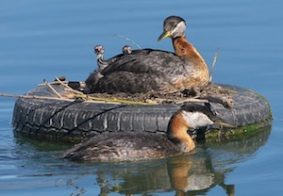 red-necked-grebes-978387_640